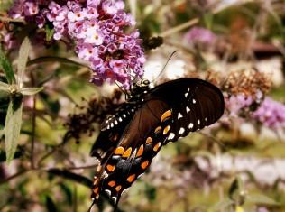 DSC05866 Butterfly and Bush 3