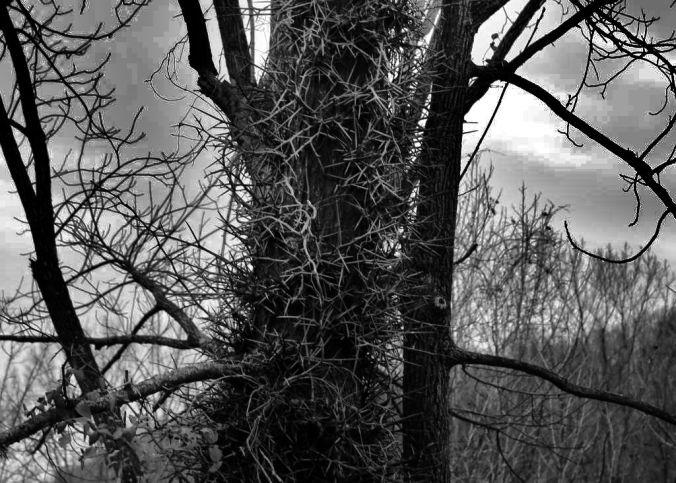 IMG_6338 Honey Locust thorns 2.jpg